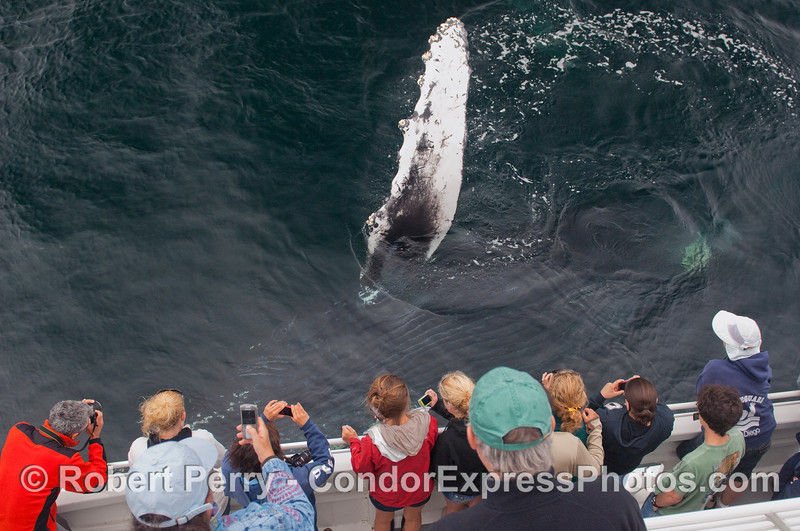 A Humpback rolls on its right side and waves its left pectoral fin at the whalers as the digital cameras click.