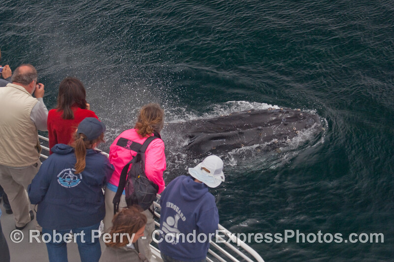 Humpback passes under the bow.