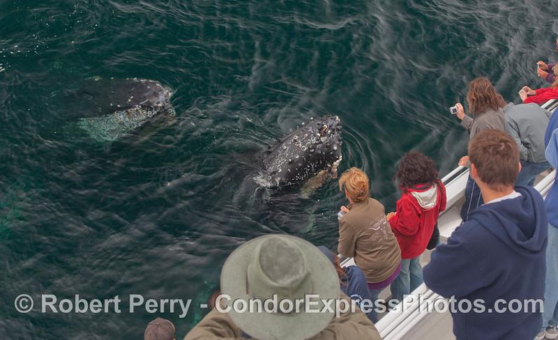 Twin spyhoppinig friendly Humpbacks.