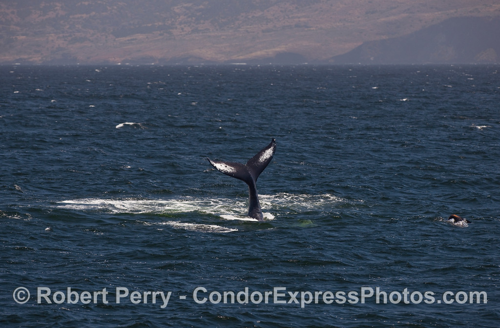 Humpback Whale tail throw with Santa Cruz Island in the background.