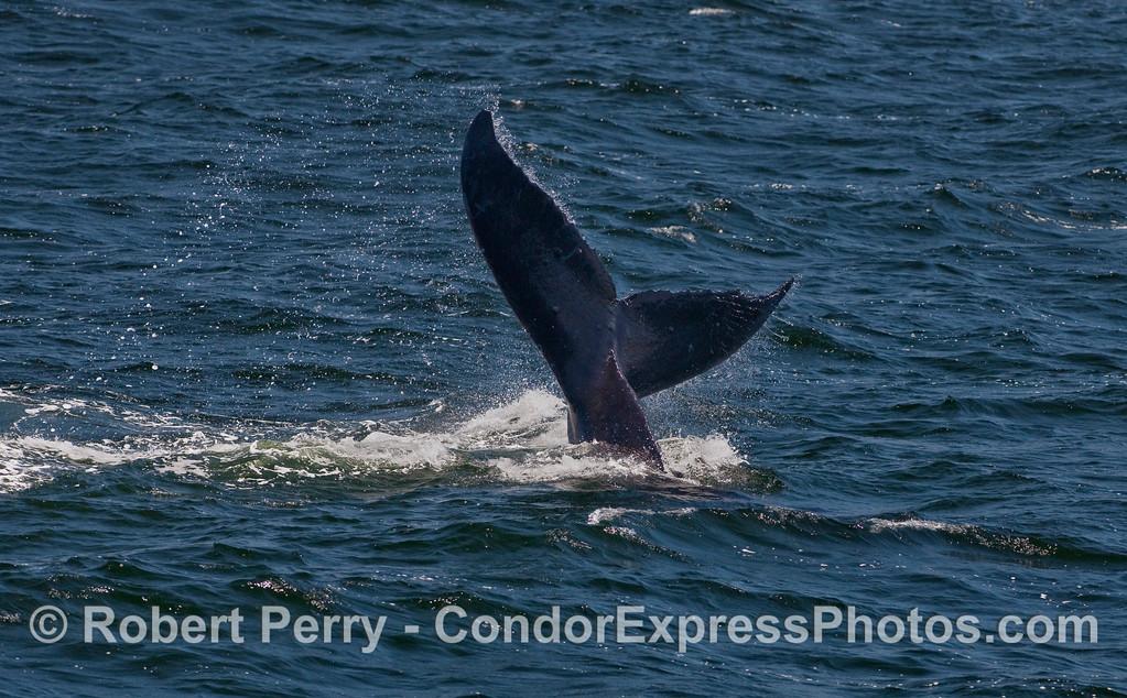 Humpback Whale tail throw.