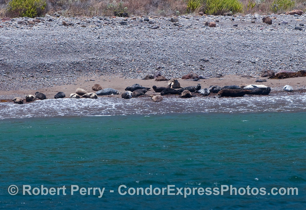 Harbor Seals (Phoca vitulina) hauled out on a sand beach - Santa Cruz Island.
