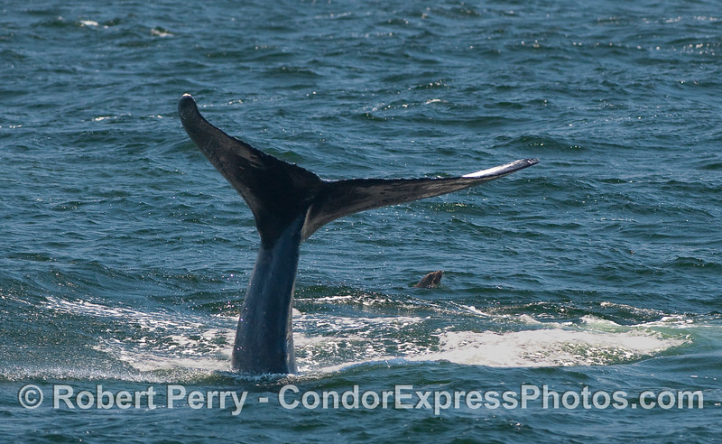 Humpback Whale throwing its tail while a California Sea Lion looks on.