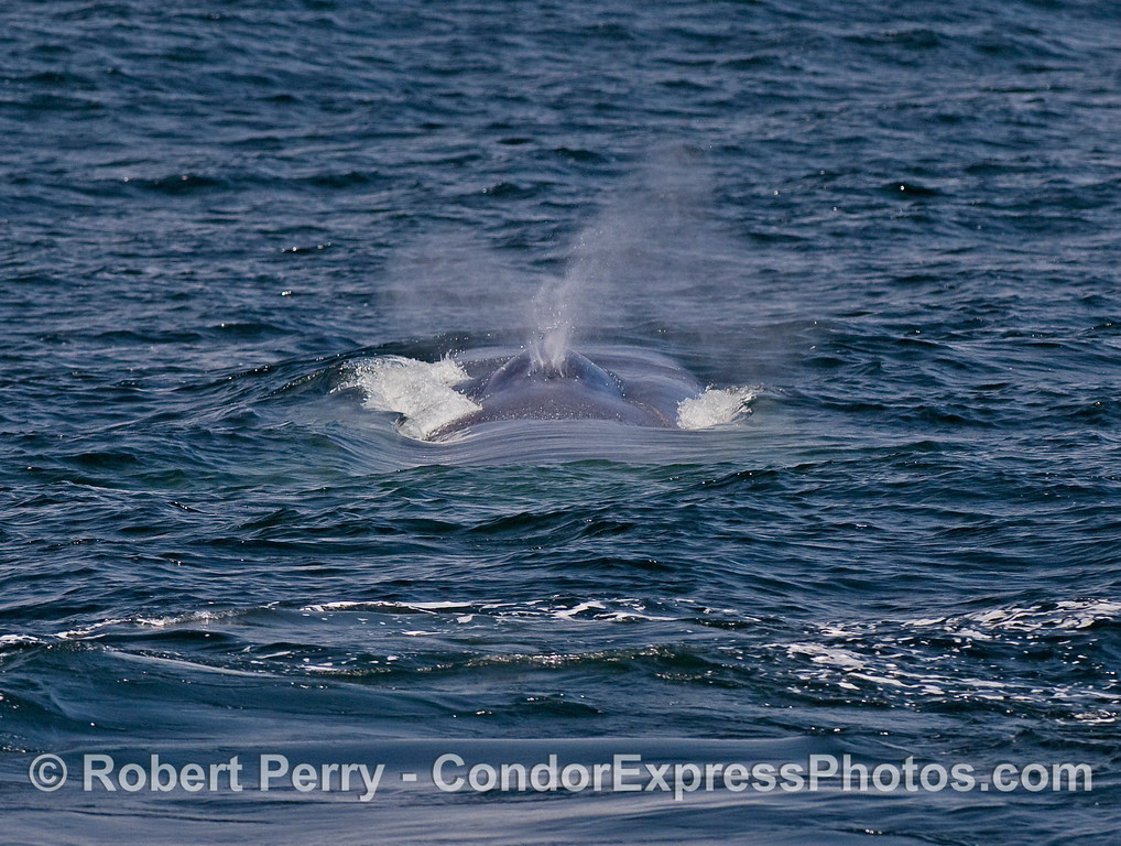 Looking across the back of a Blue Whale, towards the head, as it begins to spout.
