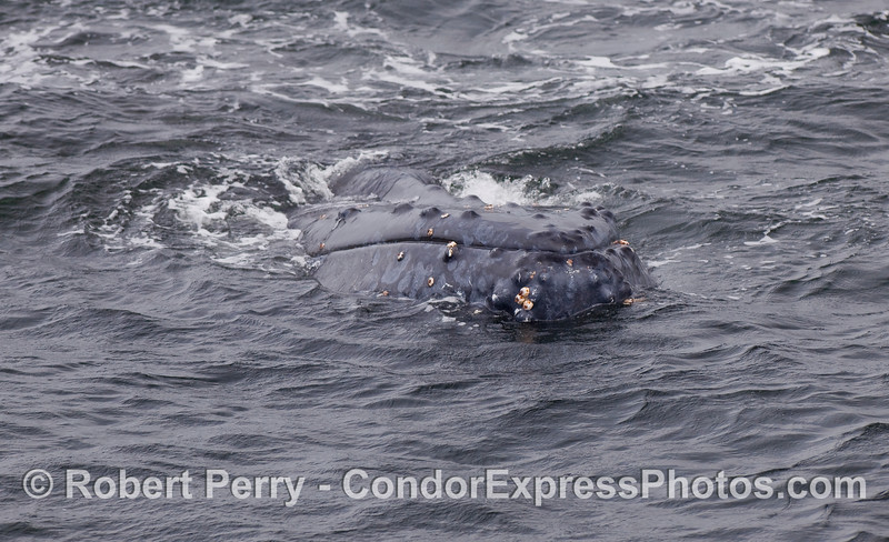A Humpback lifts its head a bit.