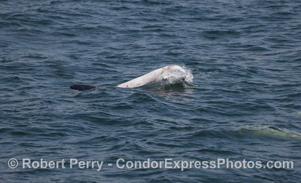 The bulbous head of a Risso's Dolphin breaks through a small wave.