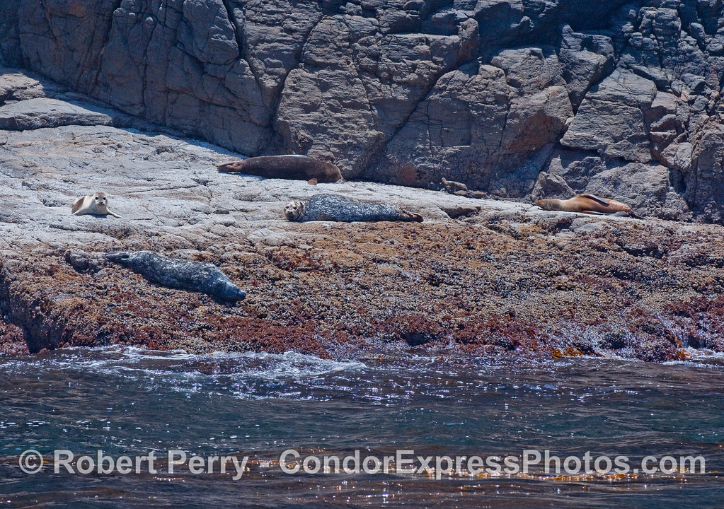 Four Harbor Seals (Phoca vitulina) and one California Sea Lion (Zalophus californianus) to the right.