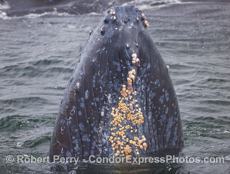 A spyhopping Humpback Whale shows the barnacles growing on its chin.  Also visible are the ventral grooves.