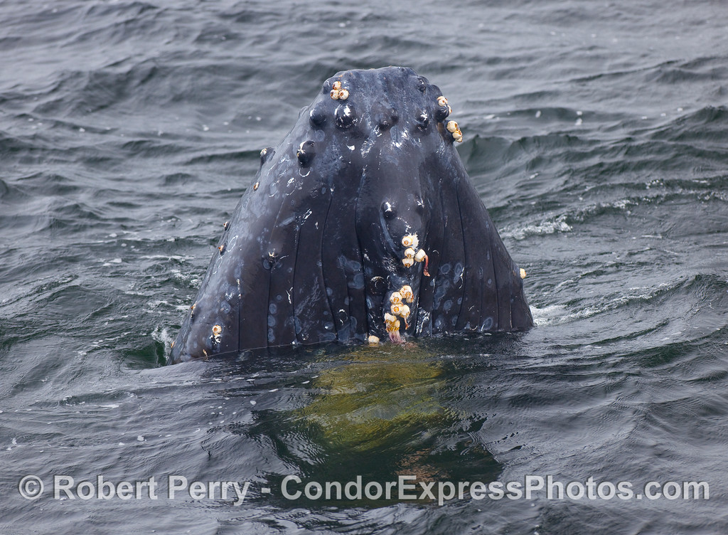 The spyhopping Humpback Whale slowly sinks back into the ocean.