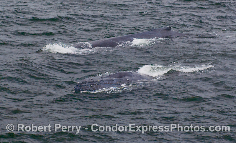 Twice as much Humpback.