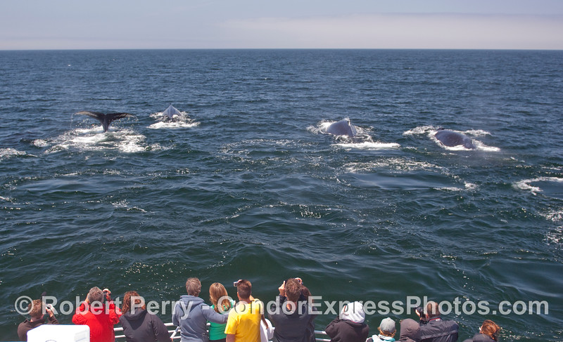 Humpbacks everywhere! OMG.