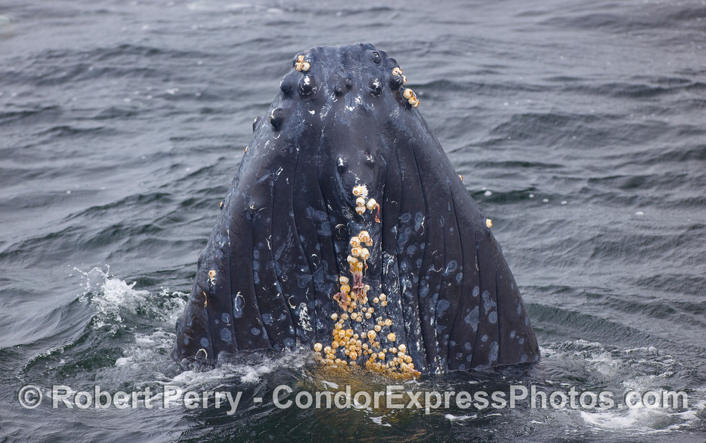 Rostrum and chin of the spyhopping Humpback.