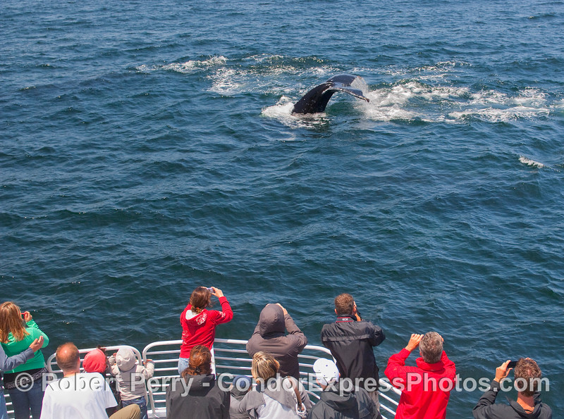 A nearby Humpback tail fluke is enjoyed by the whalers on board the Condor Express.