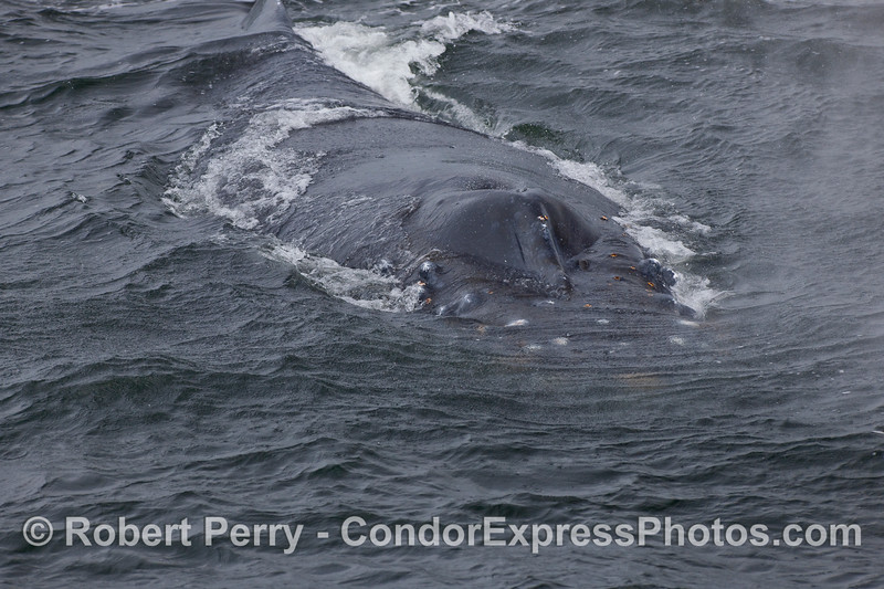 A Humpback heads directly for the camera lens.
