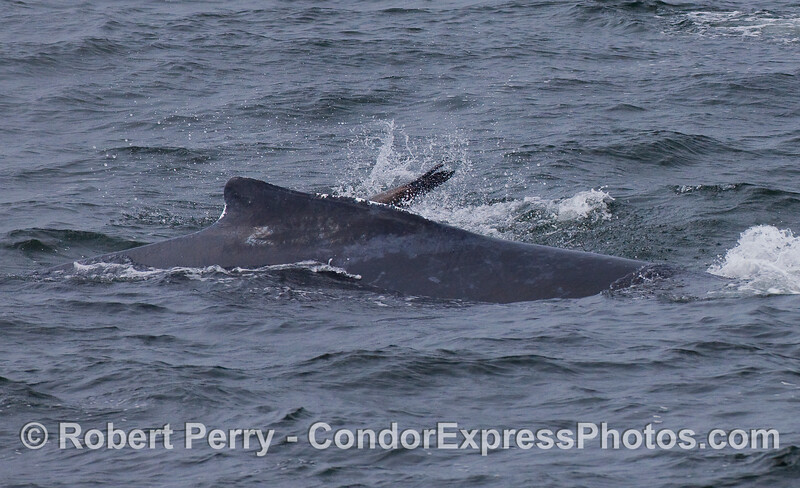 Interaction between species:  Humpback Whale and California Sea Lion (Zalophus californianus).