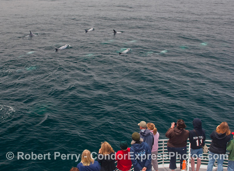 At least 14 Risso's Dolphins pass close to the bow of the Condor Express.
