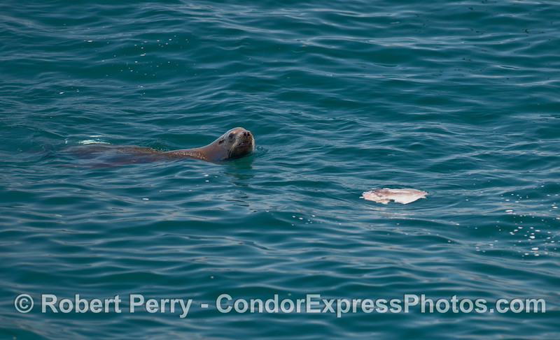 A California Sea Lion (Zalophus californianus) feeding on the carcass of an Ocean Sunfish (Mola mola).