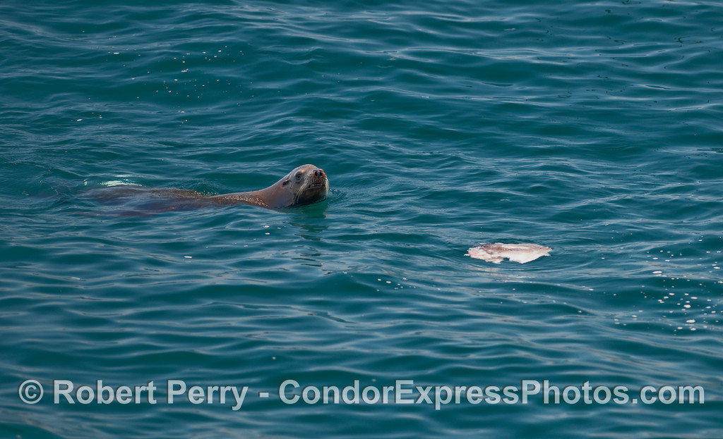 A California Sea Lion (Zalophus californianus) feeding on the carcass of an Ocean Sunfish (Mola mola).