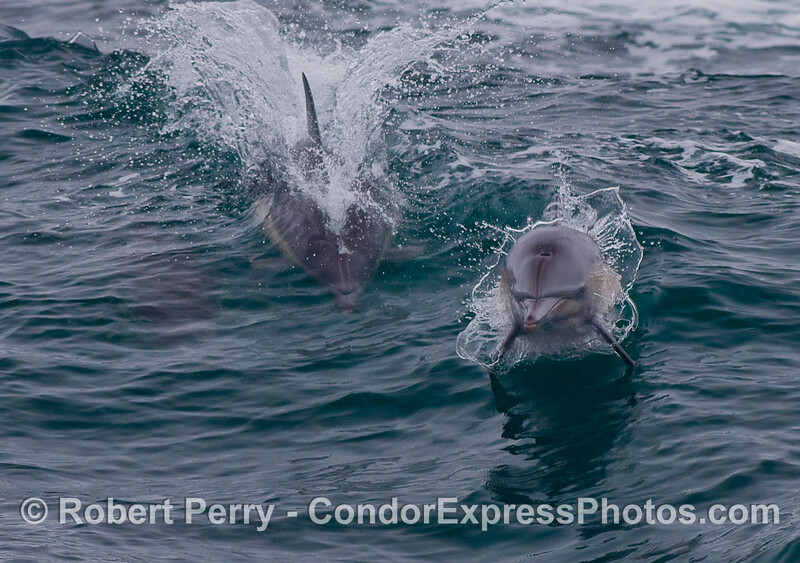 A Common Dolphin leaps directly at the camera.