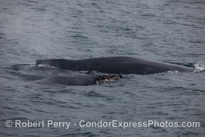 Two Humpback Whales, perhaps a mother and calf pair.