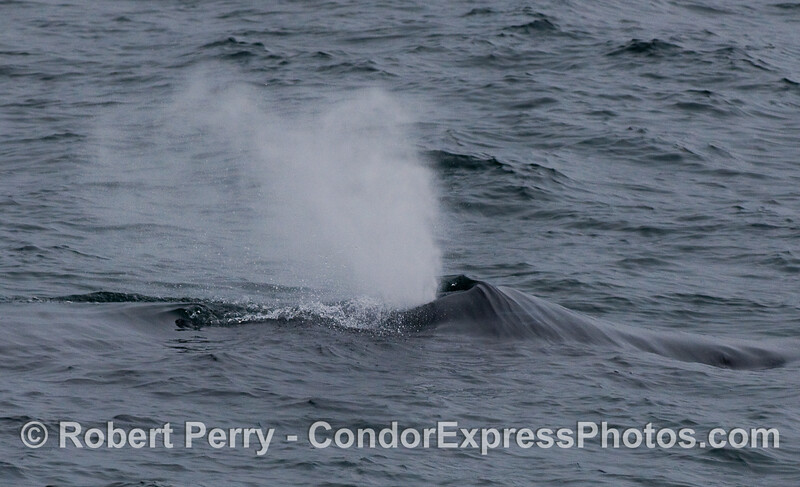 Close up view of a spouting Humpback Whale.