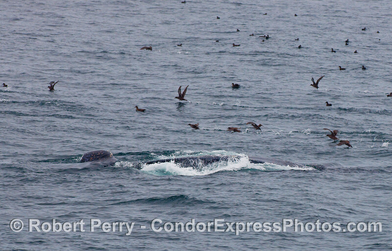 Here we see a Humpback Whale lunge feeding just below the surface and scaring away all the Sooty Shearwaters (Puffinus griseus) that are feeding on the same prey as the whale:  krill.