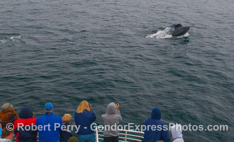 This lunge feeding Humpback Whale takes a gulp right in front of the whalers.