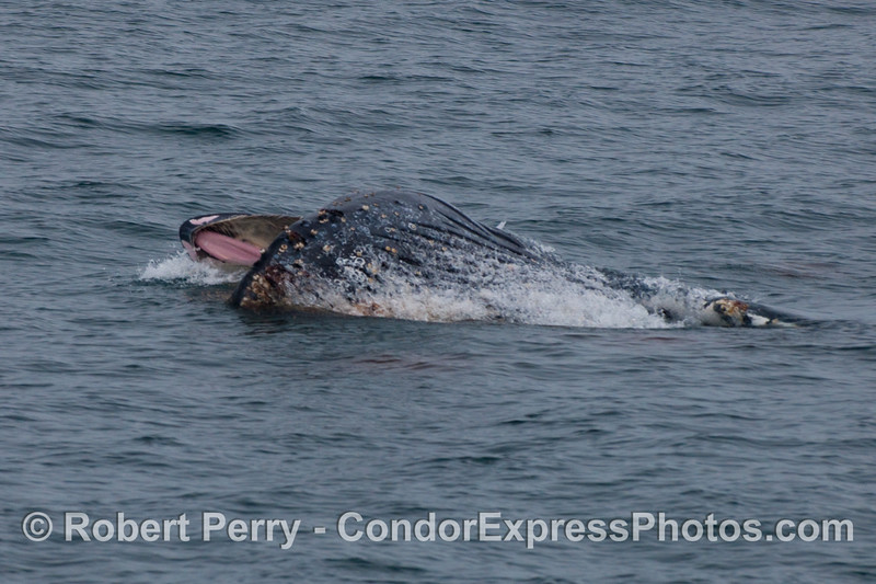 A lunge feeding Humpback Whale takes a gulp of Krill (Thysanoessa spinifera) so the whalers on board the Condor Express can see the roof of its mouth, baleen, and ventral grooves.