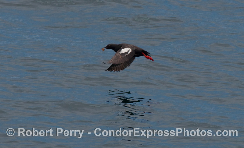 A Pigeon Guillemot (Cepphus columba) takes flight with a small fish in its beak.