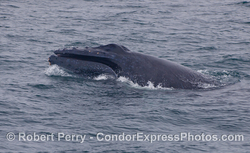 This Humpback Whale makes a short forward lunge and shows the baleen inside its mouth.