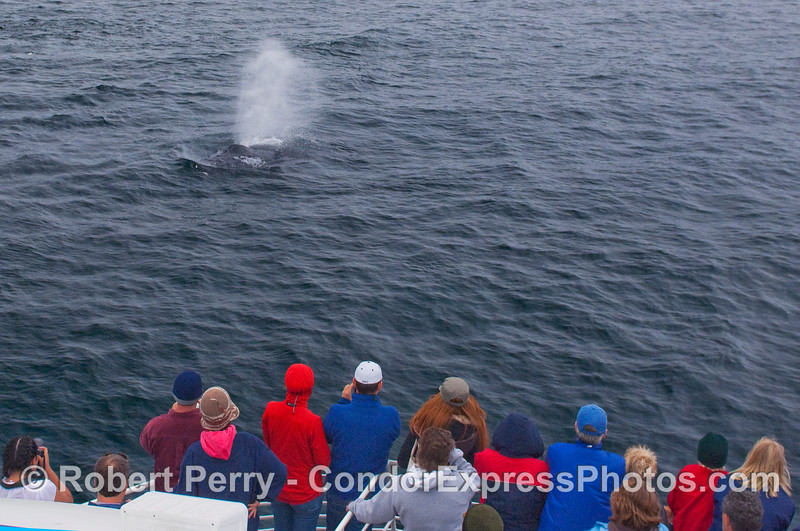 A friendly Humpback Whale comes in to take a look at the whalers, and spouts.