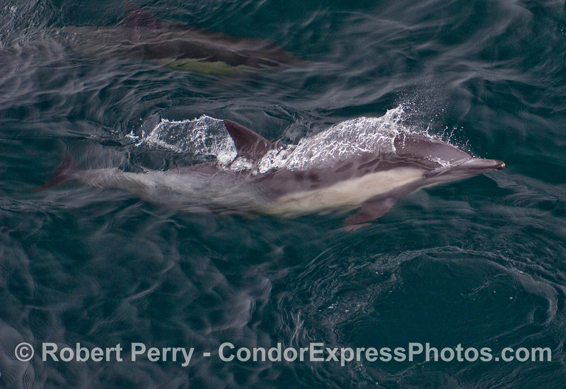 A leaping Common Dolphin gets caught by the camera leaving the water.