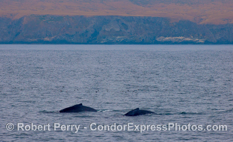 Two Humpback Whales near the western end of Santa Cruz Island.