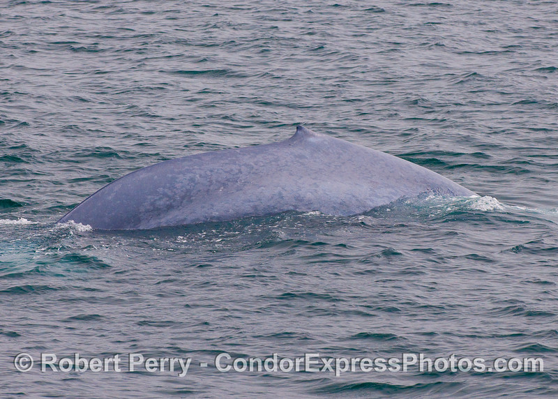Dorsal fin and right flanks of a giant Blue Whale.