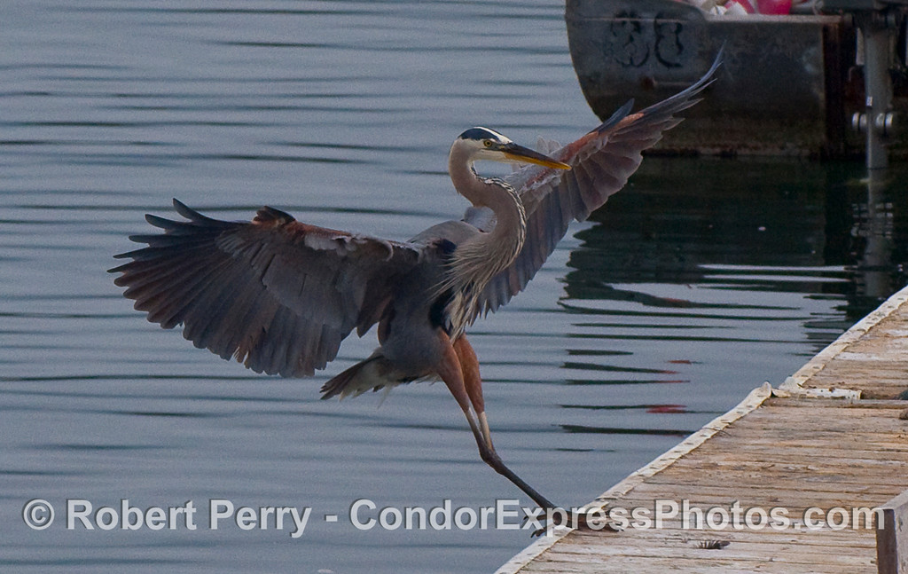 A Great Blue Heron (Ardea herodias) comes in for a gentle landing.