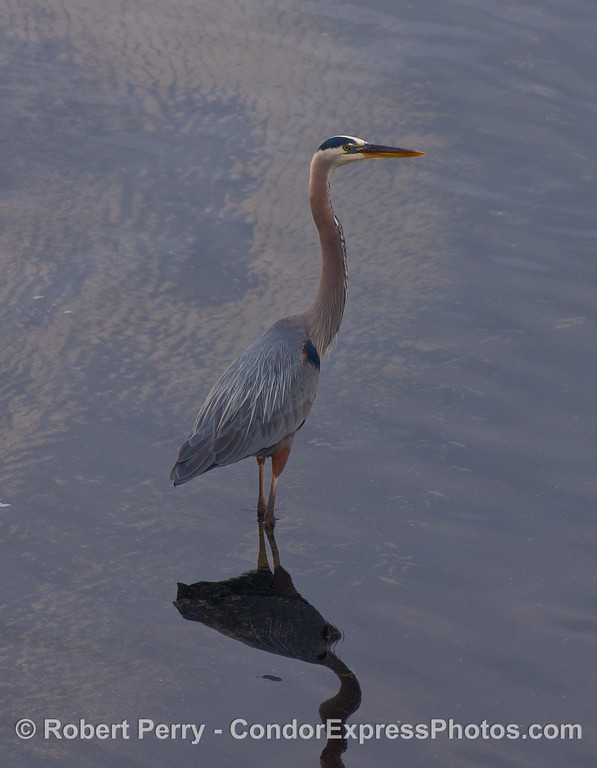 A majestic Great Blue Heron (Ardea herodias) wades in the calm, shallow waters of West Beach, Santa Barbara.