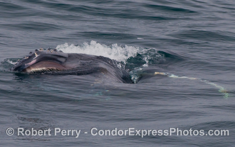 Image 3 of 3:   A lunge feeding Humpback Whale gulping Krill (Thysanoessa spinifera) on the surface.