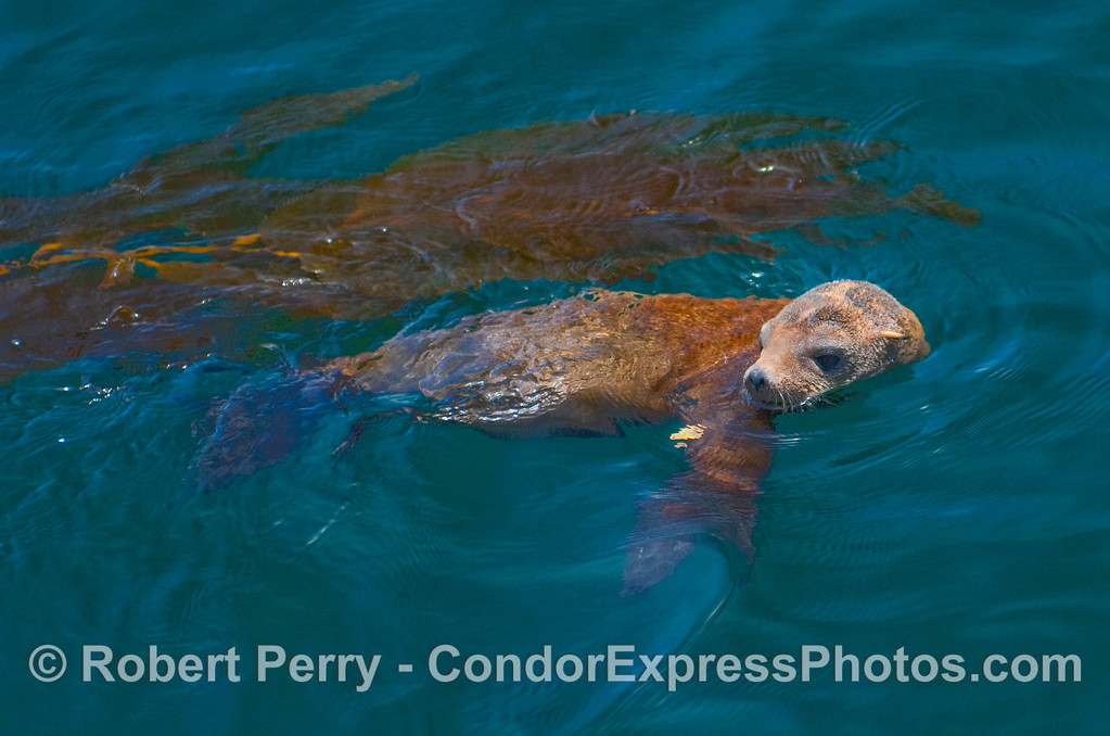 Parting image of the rescued sea lion as she swam freely in a tranquil cove at Santa Cruz Island.