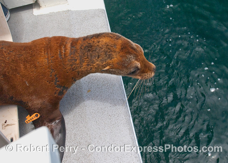 A closer look at the young sea lion preparing to take a leap back into its natural environment.