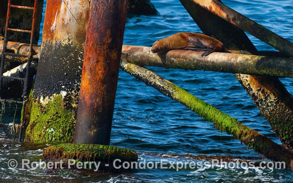 A female California Sea Lion (Zalophus californianus) asleep on a support bar under Oil Platform Holly.   Did it leap up there on a high tide, or climb the ladder?