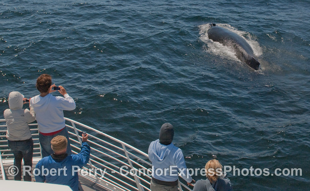 Another Humpback Whale (Megaptera novaeangliae) makes a close approach.
