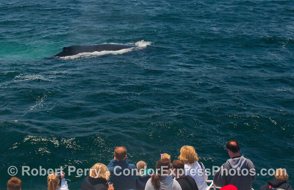 A very friendly approach by a Humpback Whale (Megaptera novaeangliae).