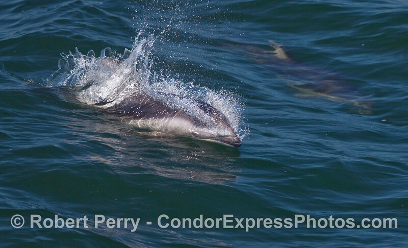 A Pacific White-sided Dolphin (Lagenorhyncus obliquidens) cuts through the water.