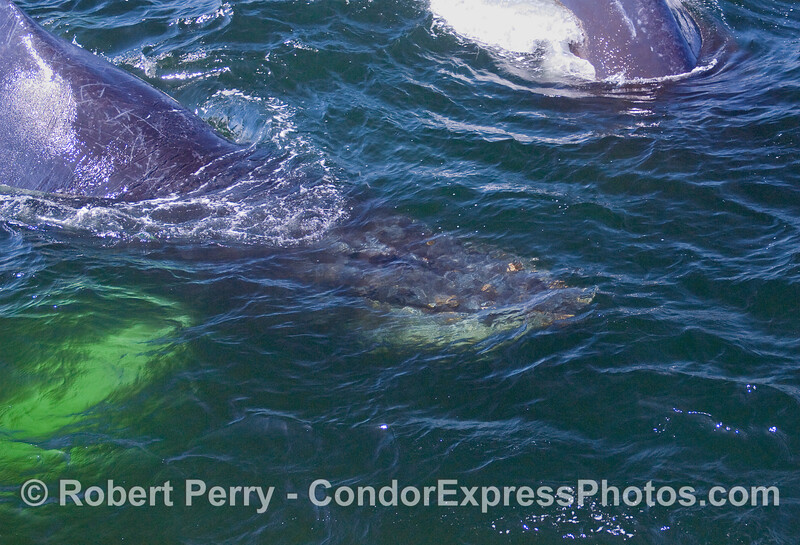 Two more Humpback Whales (Megaptera novaeangliae) in green water.