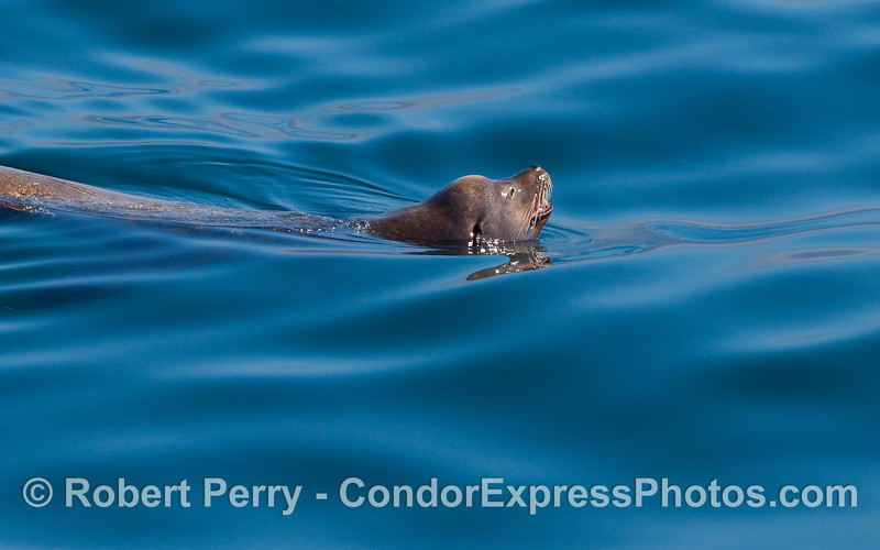 A young bull California Sea Lion (Zalophus californianus) enjoys a swim on a calm, sunny day.