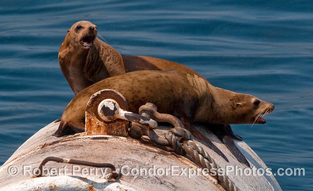 Two feisty California Sea Lions (Zalophus californianus) on a mooring can near Platform Holly.