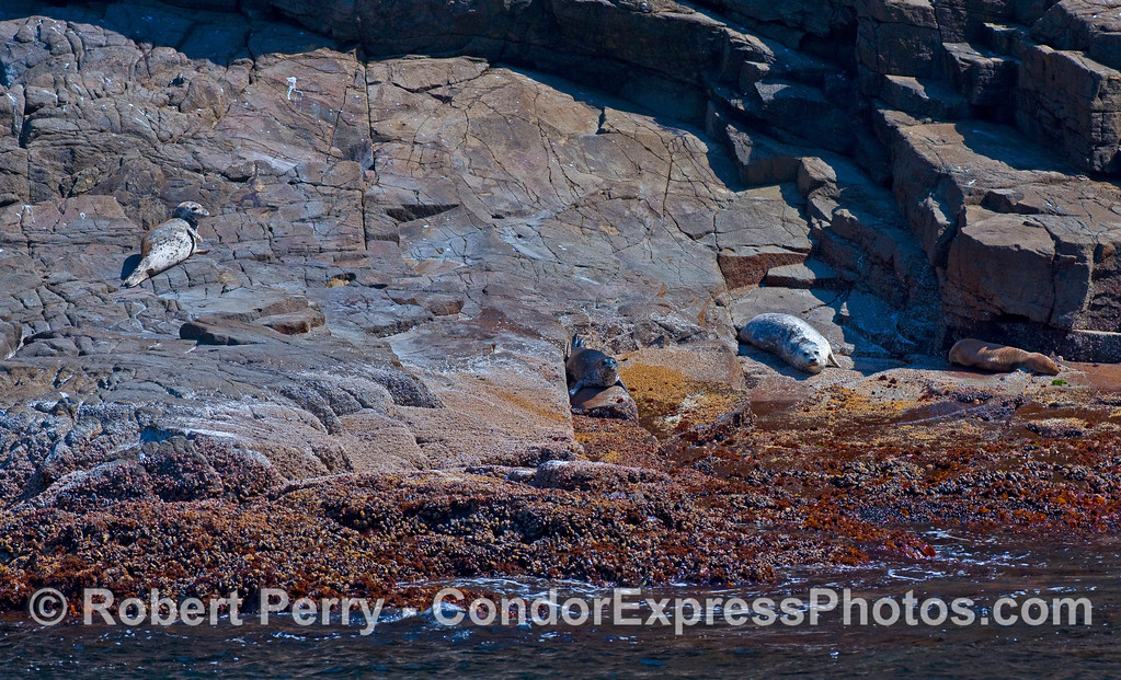Three Pacific Harbor Seals (Phoca vitulina richardsonii) and a California Sea Lion (Zalophus californianus) rest on a rocky ledge at Santa Cruz Island.