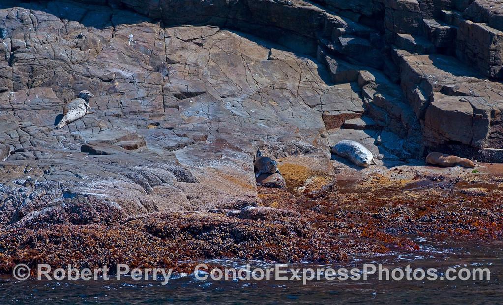 Three Pacific Harbor Seals (Phoca vitulina richardsonii) and a California Sea Lion (Zalophus californianus) rest on a rocky ledge at Santa Cruz Island.