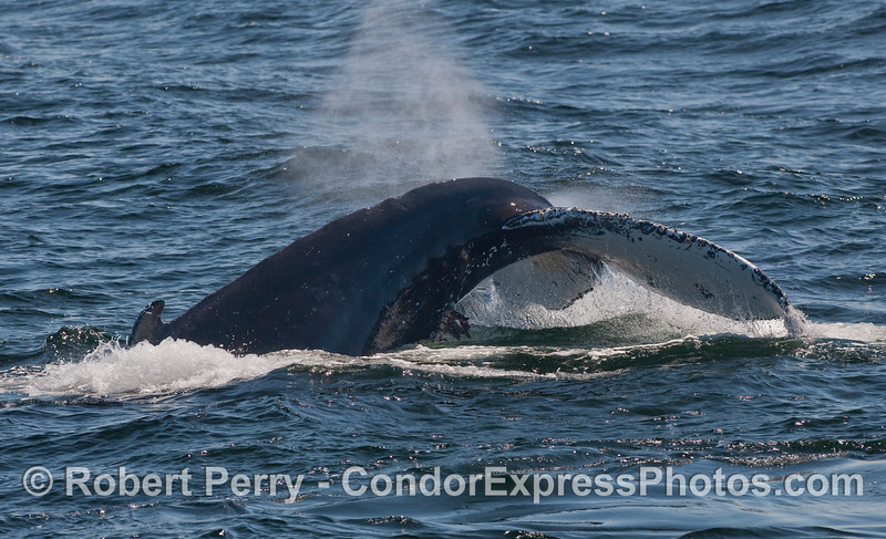 A Humpback Whale (Megaptera novaeangliae) kicks up its tail as another spouts directly behind it.