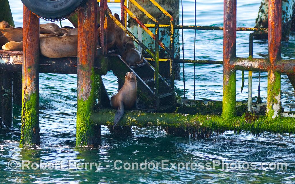 More California Sea Lions (Zalophus californianus) on Platform Holly.